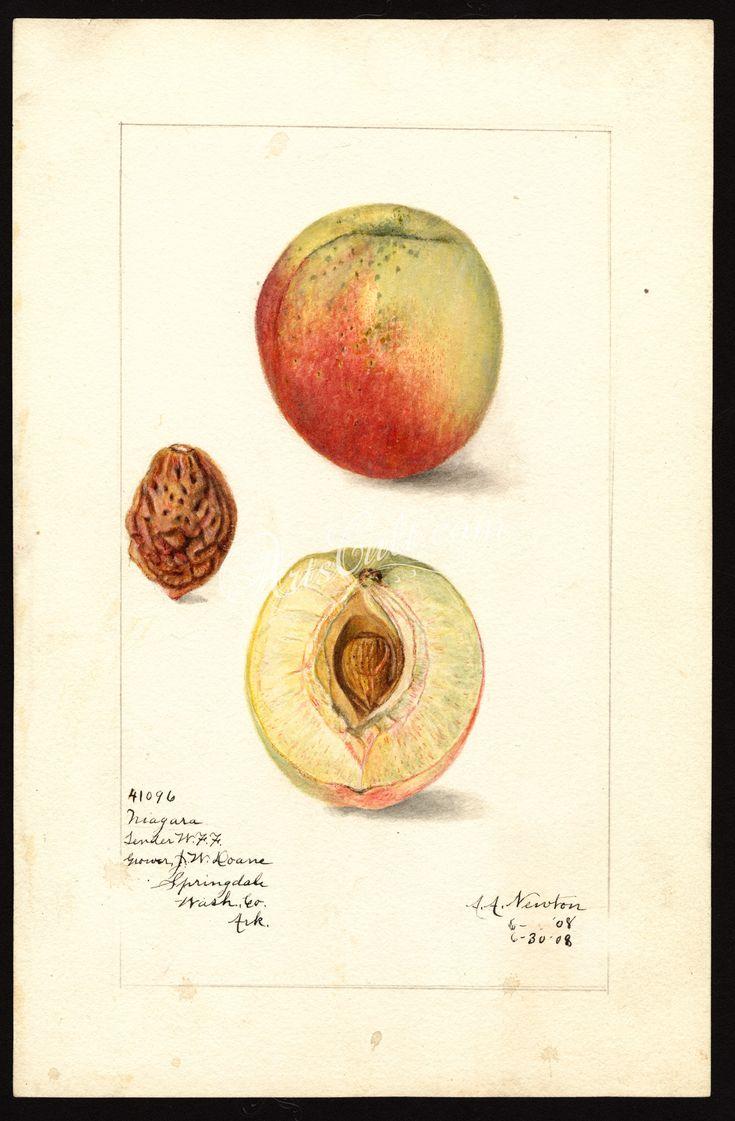 5725-Prunus persica-Niagara      ...