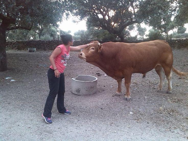 Un toro de seis añitos, Bogajo, Salamanca para que el alumno sepa respetar a los animales, y vean que no son peligrosos