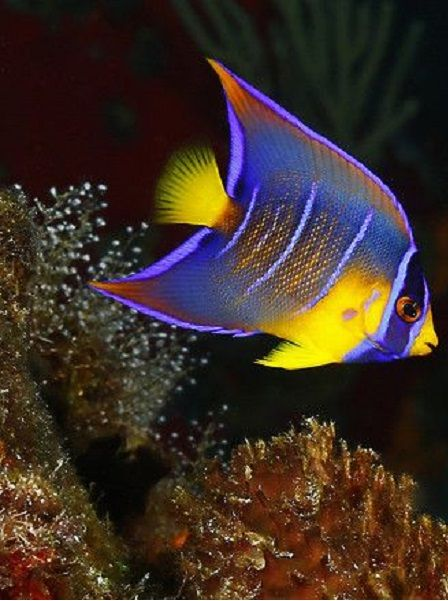 554 best water world images on pinterest marine life fish and sea jewels young queen by kenkiefer juvenile queen angel publicscrutiny Images