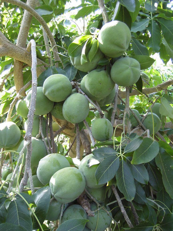 1359 best vegetables fruites berries images on for Fruit trees