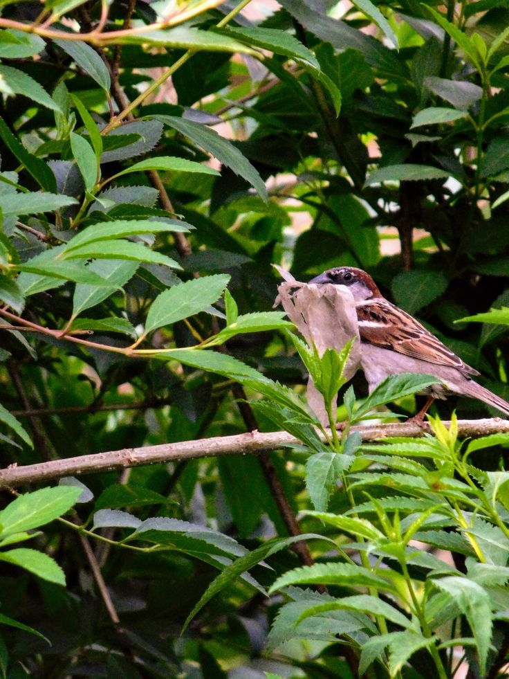 Building a nest is a never ending job. / Male sparrow in our forsythia. - s.dorman's photo