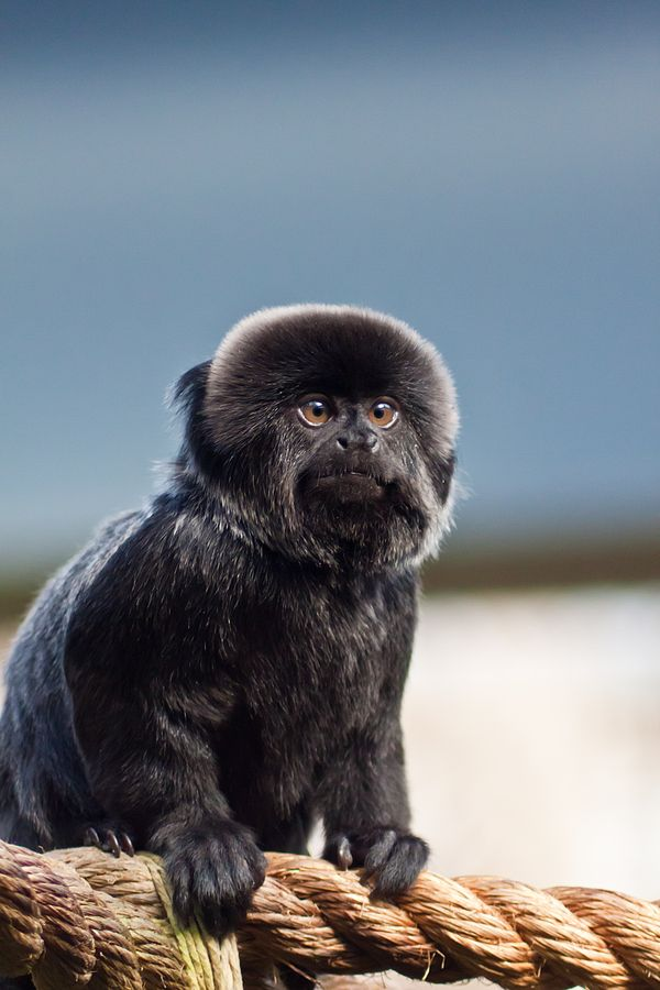 Goeldi's Marmoset (aka Goeldi's monkey) is a small, South American New World monkey.  They live in small social groups, however, they have been known to form polyspecific groups (ie. mixed-species groups) with Tamarins.
