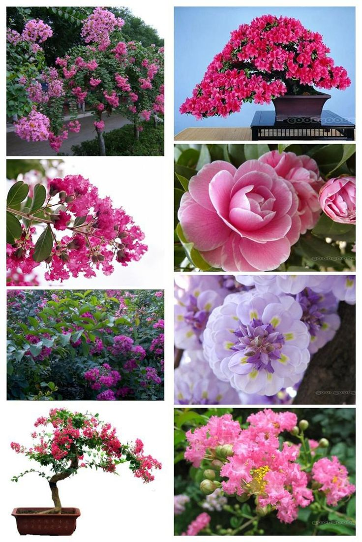 2018 400 Lagerstroemia Purple Crape Myrtle Bonsai Seeds,Heirloom Seeds * Dwarf Shrubs Bonsai Flower Seeds,Natural Style Crape Myrtle From Soler, $17.18 | Dhgate.Com