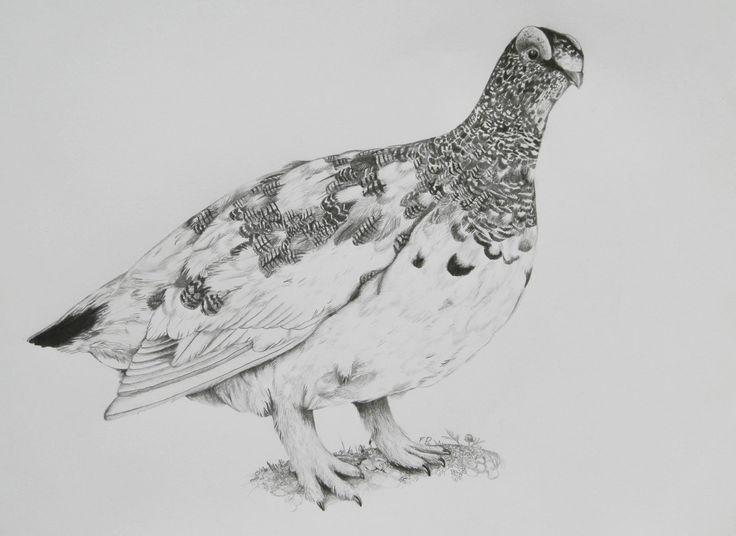 Rock ptarmigan  B/4 size , graphite pencil drawing      / bird /