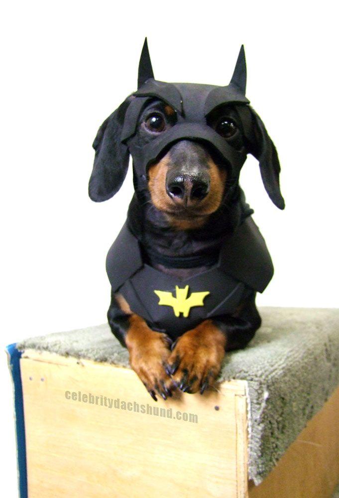 Super Cute Batman Dog Costume! http://www.celebritydachshund.com/2013/10/27/halloweenie-dachshund-costumes-contest/