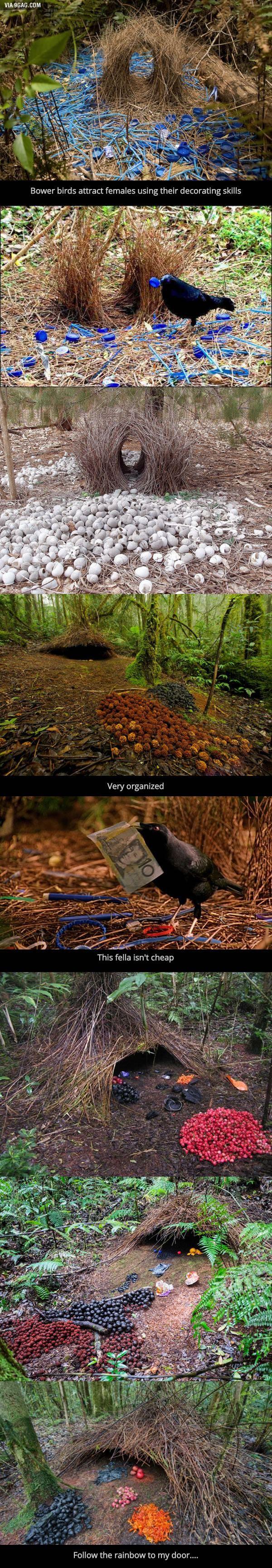 Laubenvögel sind fantastisch