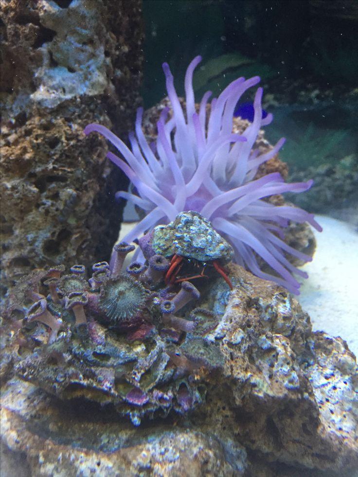 Mi acuario Anemona