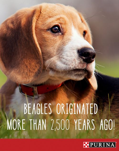 Beagles are one of the oldest breeds and were originally used as hunting companion dogs. Learn more about this active and family friendly dog breed at Purina.com!
