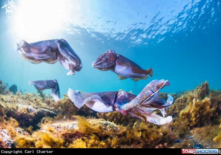 Giant Australian cuttlefish in Whyalla - South Australia
