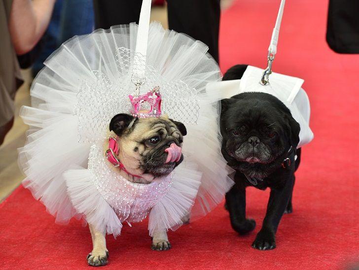 Собачья свадьба: совет да любовь Джасмин и Джасперу • НОВОСТИ В ФОТОГРАФИЯХ