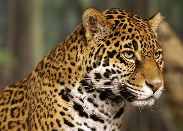 Did you know that this amazing felines are listed in the category of danger of extinction?  According to the World Wildlife Fund (WWF), an estimated 15,000 Jaguars remain in the wild, all in Latin America.  Jaguars are considered to be extinct in El Salvador and Uruguay and they are also almost entinted in USA. The records shows that the 40% of the world's original Jaguars population has already disappeared. The primary reason is because their natural habitats are steadily disappearing due…