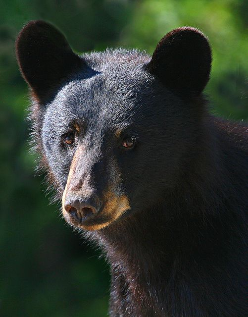 The Black Bear is New Mexico's state mammal.  This one's still a cub.