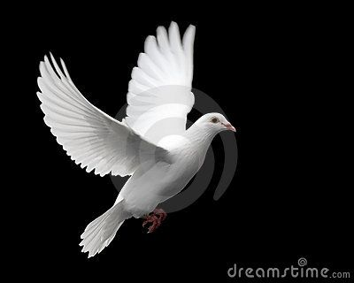 Weiß-Taube im Flug 1
