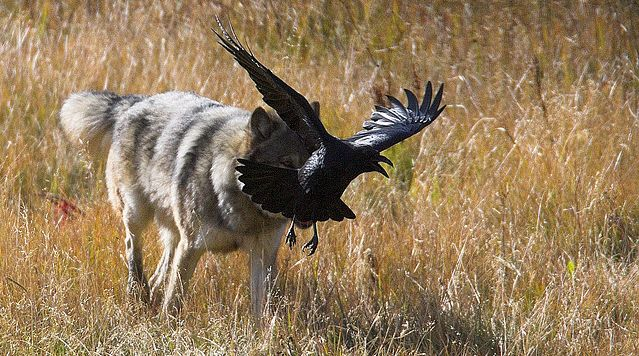 White Wolf : Wolves and Ravens: A Curious Relationship (Video)