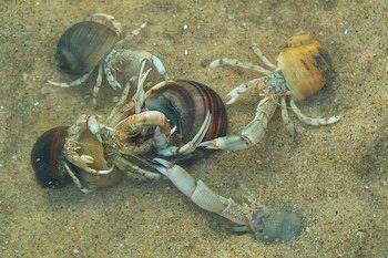 Dit zijn heremietkreeften je ziet dat ze aan het vechten zijn voor een schelp daar wonen ze namelijk in. pin Yannick