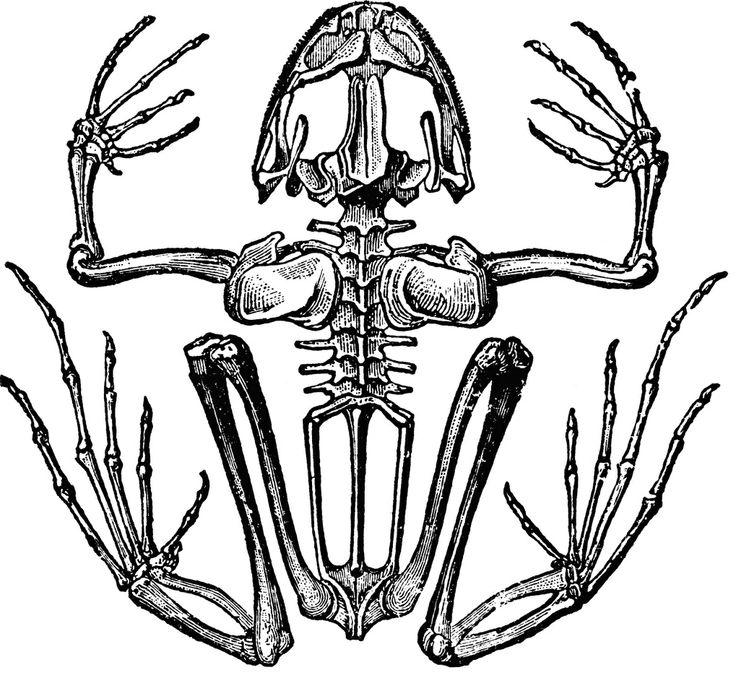 skeleton of a frog - Halloween Printable Book 2