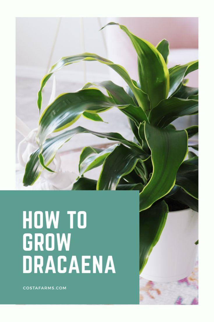 How to grow dracaena in 2020 dracaena plants easy to