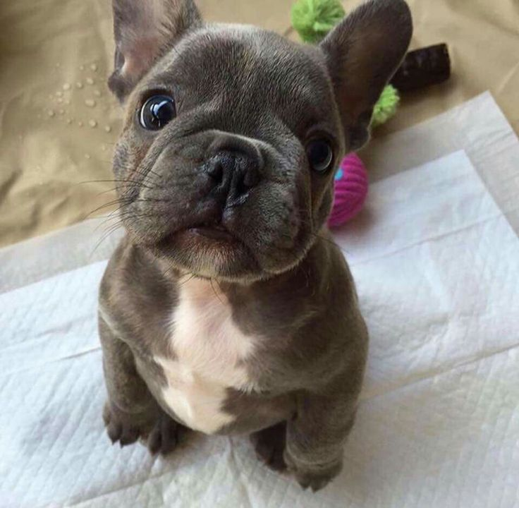 OH MY GOODNESS!! He's so stinkin cute! French Bulldog Puppy❤