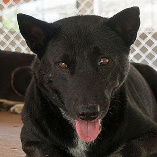 Labrador Retriever Mix Dog For Adoption In Seattle Wa Usa Adn 784690 On Puppyfinder Com Gender Male Age Adult Nicknam Labrador Retriever Mix Dog Adoption