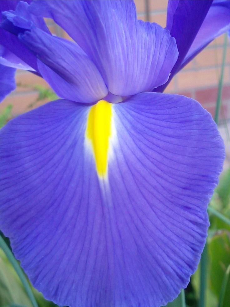 Iris by Karen Griffiths