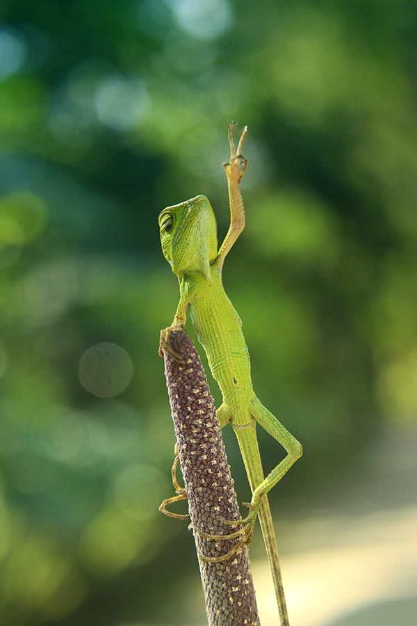 peace lizard | animals + wildlife photography