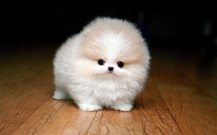 Teacup+Pomeranian+Puppies | Teacup Pomeranian Husky Puppies