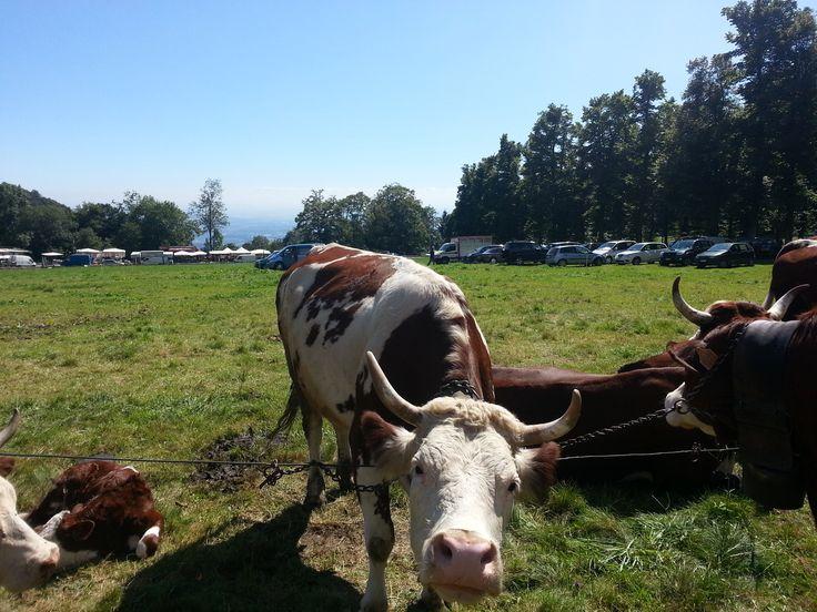 Festa di San Bartolomeo #cows #Oropa #september