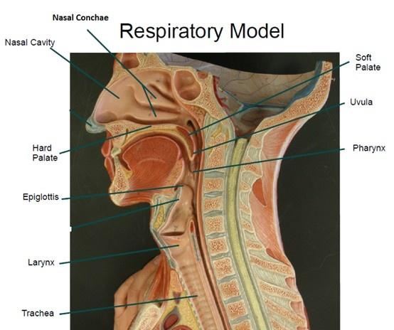22 best Anatomy images on Pinterest   Anatomy, Speech language ...