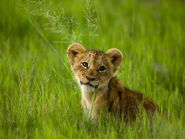 """Photograph by Beverly Joubert. """"An African lion cub rests in the tall grasses of Botswana. Once ranging across the African continent and into Syria, Israel, Iraq, Pakistan, Iran, and even northwest India, lions have declined to as few as 20,000 animals from about 450,000 just 50 years ago."""" - National Geographic"""