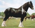 Le Shire compte parmi les plus anciennes races équines d'Europe car Jules César le mentionne pour la première fois il y a plus de 2000 ans dans la Guerre des Gaules.