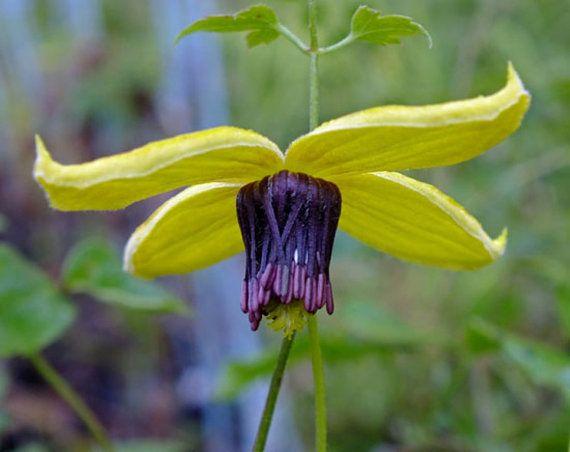 CLEMATIS, Radar Love Flower Seeds (25 SEEDS )Yellow Perennial Vine on Etsy, $2.95