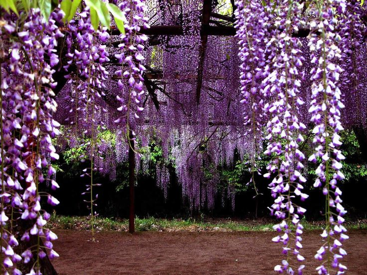 Pretty in Purple...Secret Gardens, Purple, Plants, Flower Gardens, Gardens Posters, Desktop Wallpapers, Hanging Flower, Nature Beautiful, Wisteria Lane