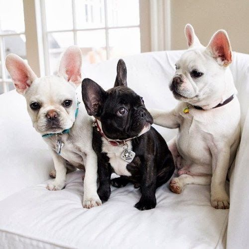 French Bulldog Love x 3   Content in a Cottage