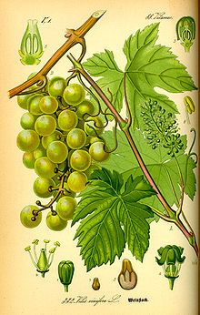 Grape seed oil - Grape seed oil is a preferred cosmetic ingredient for controlling moisture of the skin. Light and thin, grape seed oil leaves a glossy film over skin when used as a carrier oil for essential oils in aromatherapy. It contains more linoleic acid than many other carrier oils.  Grape seed oil is also used as a lubricant for shaving and as a growth and strengthening treatment for hair
