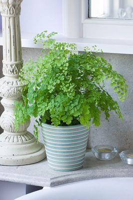 Maidenhair Fern Ferns Grow Well In The Bathroom The