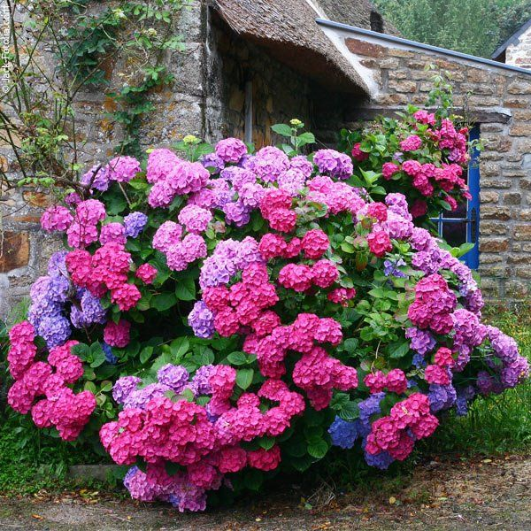 One plant, many colors! This is why I love hydrangeas!!  Different soil Ph~~acid more blue & alkaline more pink