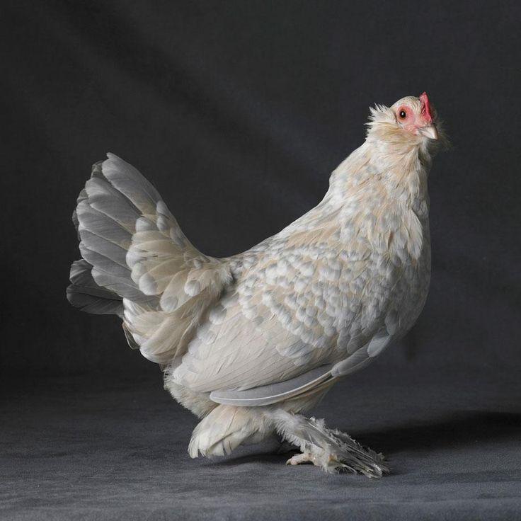 De magnifiques poulets