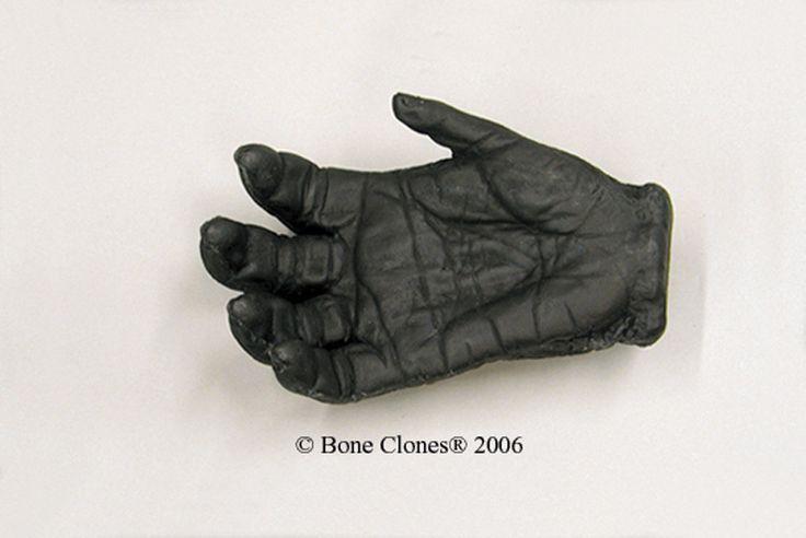 Female Gorilla Right Hand (Life Cast) - Bone Clones, Inc. - Osteological Reproductions