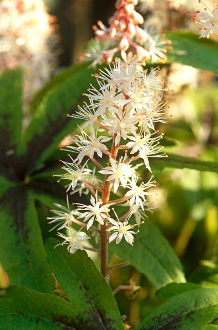 Tiarella cordifolia a way to garden - Tiarella Iron Butterfly