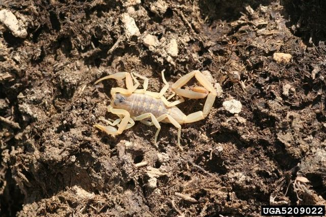 Most people believe scorpions (Order Scorpiones) are desert creatures with dangerous venom, but this is only partially true. Scorpions live in all kinds of habitats, and very few of them can hurt you. Learn the habits and traits of scorpions.