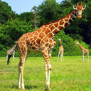 Interesting giraffe facts for kids and adults. We showcase the diet and habitat of giraffes, and reveal whether giraffes are an endangered species.