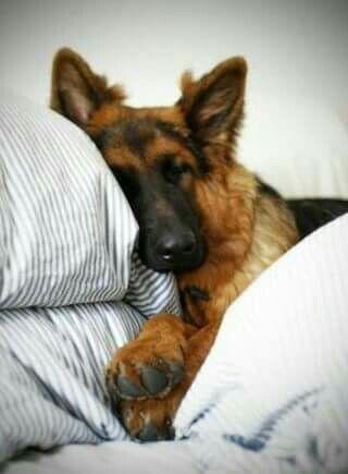 How sweet is this German shepherd?!