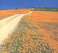 Namaqualand - South Africa West Coast Flowers