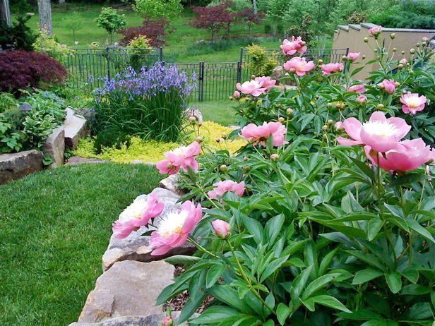17 Best Images About Peonies In The Landscape On Pinterest 400 x 300