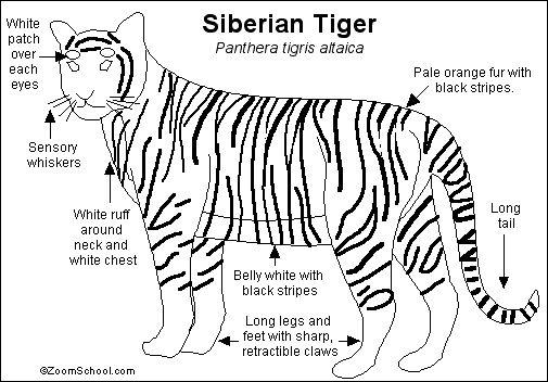 Siberian Tiger Printout- EnchantedLearning.com