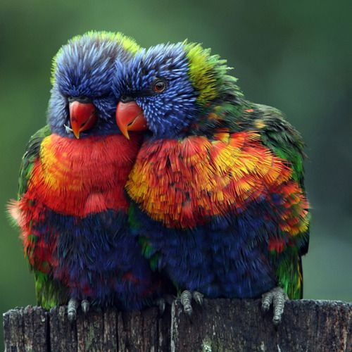 Rainbow lorikeets (Australia, Queensland area, Indonesia. Lives in rainforests, coastal areas, woodlands)