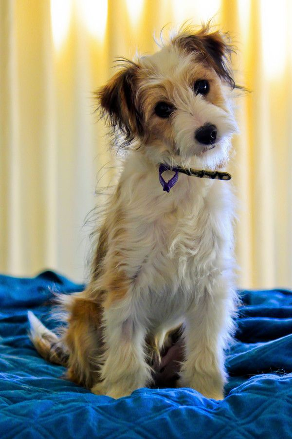 Jack Russell Terrier Mix.  Looks like a rough coat.