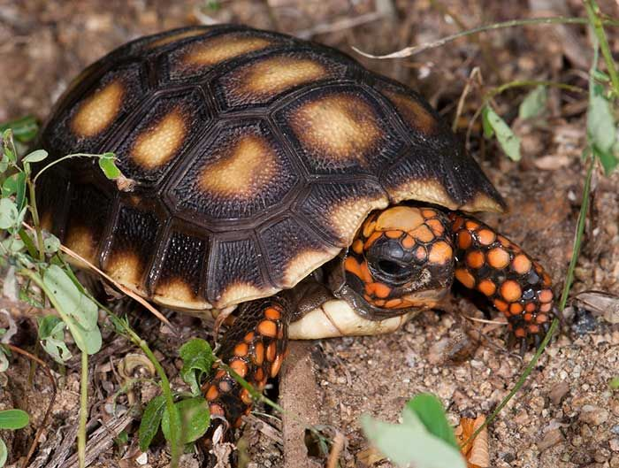 Reptiles - Facts, Characteristics, Anatomy and Pictures - Red Footed Tortoise