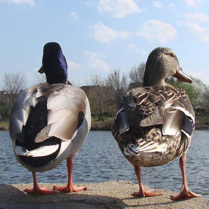 Kaczki, Mężczyzna, Kobiet, Natura, Wiosna, Zwierząt