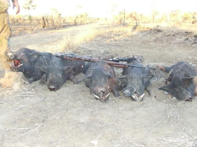 wild hogs essay Essay feral hogs are becoming a huge issue to many people, especially in southern parts of us and texas  in addition to damaging crops and livestock, wild pigs damage forests and are.
